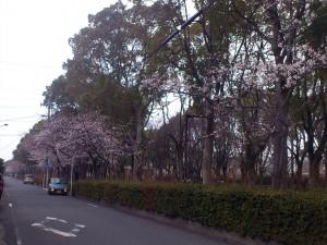 1キロ公園の桜
