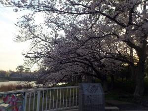 向山大池公園の桜