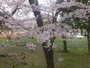 岩田運動公園の桜アップ