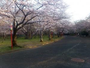 向山公園の桜(1)2014/03/28
