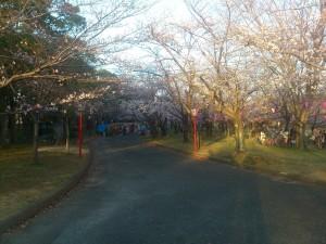 向山公園の桜(2)2014/03/28