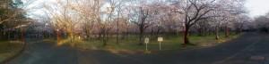 向山公園の桜(3)2014/03/28