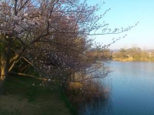 大池公園の桜(1)2014/03/28