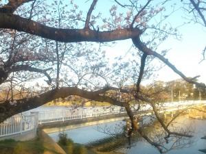 大池公園の桜(2)2014/03/28