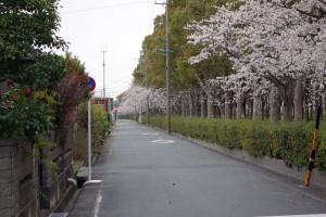 2014-1キロ公園の桜