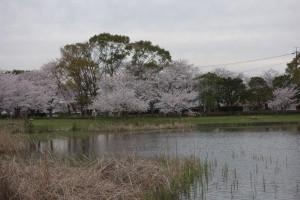 2014-岩田運動公園の桜1