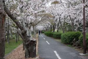 2014-岩田運動公園の桜2