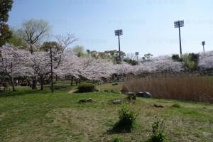 岩田運動公園の桜