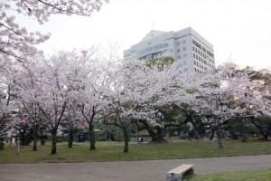 2014 豊橋公園の桜