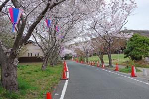 2014岩屋緑地の桜1