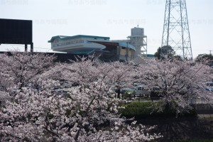 豊橋競輪前の桜