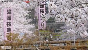 滝頭公園 滝頭桜まつり(1)