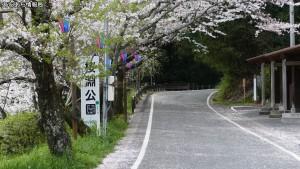 新城市 桜淵公園の桜(1)