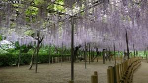 岡崎公園 五万石藤まつり(1)